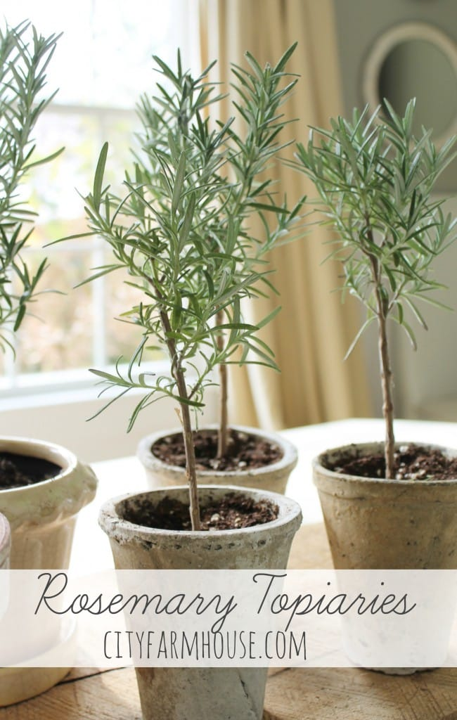 DIY-Rosemary-Topiaries-Tips-to-save-City-Farmhouse-650x1024
