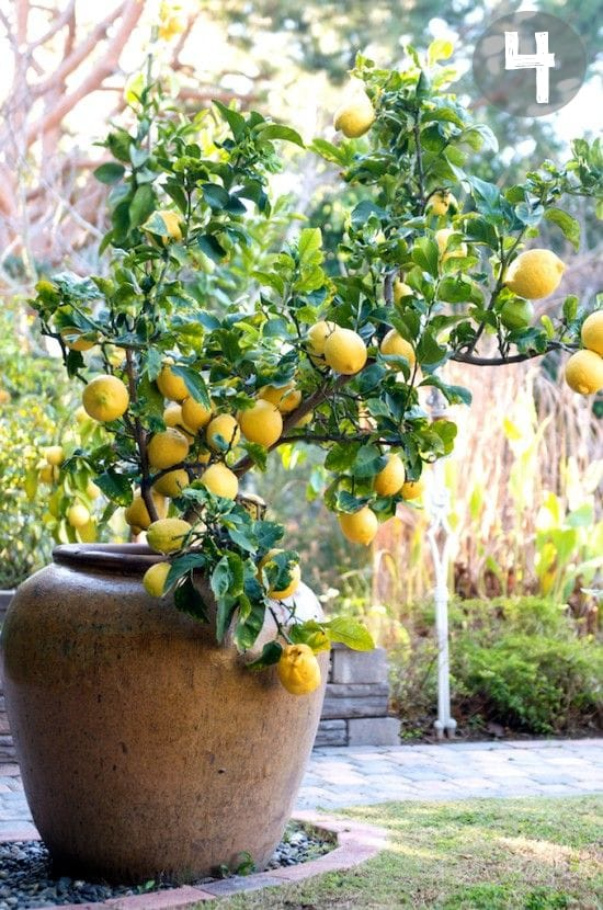 how to plant lemon tree